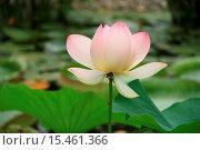 Купить «Lotus Flower», фото № 15461366, снято 19 августа 2018 г. (c) age Fotostock / Фотобанк Лори