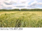 Ячменное поле. Стоковое фото, фотограф Евгений Красильников / Фотобанк Лори
