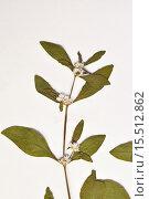 Купить «Leaves and stems of a Chaff flower, joyweed (Alternanthera tenella).», фото № 15512862, снято 18 мая 2012 г. (c) age Fotostock / Фотобанк Лори