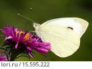 Бабочка Капустница или Белянка капустная на розовом цветке астры. Стоковое фото, фотограф Наталья Гармашева / Фотобанк Лори