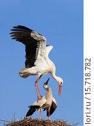 Купить «White storks (Ciconia ciconia) mating on their nest.», фото № 15718782, снято 31 марта 2009 г. (c) age Fotostock / Фотобанк Лори