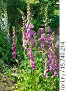 Купить «Наперстянка розовая (лат. Digitalis purpurea) в саду», эксклюзивное фото № 15740214, снято 22 июня 2015 г. (c) Елена Коромыслова / Фотобанк Лори