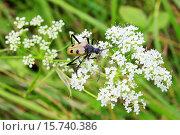 Жучок на белых цветах. Стоковое фото, фотограф Аня Шумкова / Фотобанк Лори
