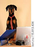 Купить «Doberman Pinscher as Business Dog», фото № 15813434, снято 18 января 2008 г. (c) age Fotostock / Фотобанк Лори