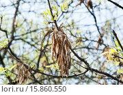 Купить «Прошлогодние плоды-крылатки Ясеня (Fraxinus)», эксклюзивное фото № 15860550, снято 5 мая 2012 г. (c) Алёшина Оксана / Фотобанк Лори