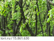 Купить «Ветка вяза, или ильма с плодами (Ulmus)», фото № 15861630, снято 5 мая 2012 г. (c) Алёшина Оксана / Фотобанк Лори