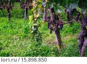 Виноград на винограднике. Стоковое фото, фотограф Людмила Герасимова / Фотобанк Лори