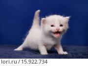 Купить «Ragdoll Kitten», фото № 15922734, снято 5 мая 2007 г. (c) age Fotostock / Фотобанк Лори