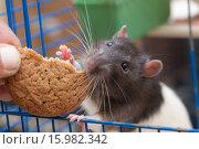 Купить «Крыса угощается печеньем», фото № 15982342, снято 13 ноября 2007 г. (c) Argument / Фотобанк Лори