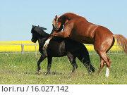 Купить «2 Ponys», фото № 16027142, снято 23 марта 2019 г. (c) age Fotostock / Фотобанк Лори