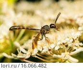Купить «Apocritan wasp (Gasteruption hastator), male on Daucus carota, Germany», фото № 16066482, снято 13 июля 2008 г. (c) age Fotostock / Фотобанк Лори