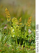 Купить «Moonwort grape-fern (Botrychium lunaria), in a meadow, Germany», фото № 16071986, снято 20 июля 2005 г. (c) age Fotostock / Фотобанк Лори