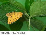 Купить «gooseberry tiger (Rhyparia purpurata), on a leaf, Germany», фото № 16076382, снято 7 июня 2014 г. (c) age Fotostock / Фотобанк Лори