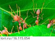 Купить «Weaver Ants or Green Ants (Oecophylla smaragdina)», фото № 16115054, снято 8 июля 2020 г. (c) age Fotostock / Фотобанк Лори