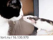 young rat and cat. Стоковое фото, фотограф Tierfotoagentur / Pfotenblitzer / age Fotostock / Фотобанк Лори
