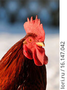 Купить «cock», фото № 16147042, снято 22 июля 2019 г. (c) age Fotostock / Фотобанк Лори