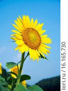 Купить «Japan, Sanyo Region, Okayama Prefecture, Maniwa, Hiruzen Kogen, Sunflower.», фото № 16165730, снято 21 августа 2018 г. (c) age Fotostock / Фотобанк Лори