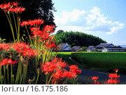 Купить «Japan, Kinki Region, Nara Prefecture, Asuka, Yamato, View of houses and cluster-amaryllis flowers.», фото № 16175186, снято 24 апреля 2019 г. (c) age Fotostock / Фотобанк Лори