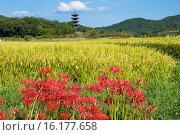 Купить «Japan, Sanyo Region, Okayama Prefecture, Soja, View of Bicchu Provincial Monastery, Five Storied Pagoda and cluster amaryllis.», фото № 16177658, снято 26 мая 2019 г. (c) age Fotostock / Фотобанк Лори