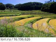 Купить «Japan, Sanyo, Okayama Prefecture, Kume District, Misaki, View of terraced rice field.», фото № 16196626, снято 21 августа 2018 г. (c) age Fotostock / Фотобанк Лори