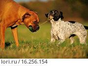 Купить «2 dogs», фото № 16256154, снято 8 июля 2020 г. (c) age Fotostock / Фотобанк Лори