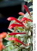 Купить «AESCHYNANTHUS RADICANS 'VARIEGATA'», фото № 16264326, снято 5 апреля 2012 г. (c) age Fotostock / Фотобанк Лори