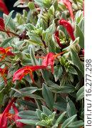 Купить «AESCHYNANTHUS RADICANS 'VARIEGATA'», фото № 16277298, снято 5 апреля 2012 г. (c) age Fotostock / Фотобанк Лори