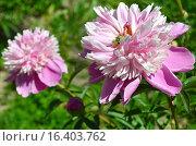 Купить «Пион Пинк Камео (лат. Pink Cameo)», эксклюзивное фото № 16403762, снято 13 июня 2015 г. (c) lana1501 / Фотобанк Лори