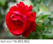 Купить «Роза чайно-гибридная Кэррис (лат. Carris), Harkness 2007», эксклюзивное фото № 16403862, снято 17 июля 2015 г. (c) lana1501 / Фотобанк Лори