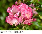 Роза парковая кустарниковая Балерина (лат. Ballerina) Стоковое фото, фотограф lana1501 / Фотобанк Лори