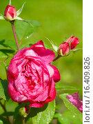 Роза кустарниковая Бенджамин Бриттен (лат. Benjamin Britten), David Austin Roses, 2002. Стоковое фото, фотограф lana1501 / Фотобанк Лори