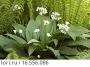 Купить «Baerlauch; Allium; ursinum», фото № 16556086, снято 20 мая 2019 г. (c) PantherMedia / Фотобанк Лори