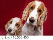 Купить «Cocker Spaniel brothers.», фото № 16556450, снято 30 июня 2007 г. (c) easy Fotostock / Фотобанк Лори
