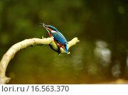 Купить «Eisvogel mit Fisch», фото № 16563370, снято 22 июня 2008 г. (c) easy Fotostock / Фотобанк Лори