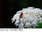 Купить «Wilde Möhre  daucus carota», фото № 16567382, снято 17 июля 2008 г. (c) easy Fotostock / Фотобанк Лори