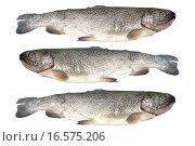 Купить «Trout fish isolated on white background», фото № 16575206, снято 20 января 2019 г. (c) easy Fotostock / Фотобанк Лори