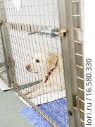 Купить «Dog Recovering In Vet´s Kennels», фото № 16580330, снято 13 ноября 2019 г. (c) easy Fotostock / Фотобанк Лори