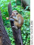 Купить «Макака сидит на стволе дерева в дикой природе острова Шри-Ланка», фото № 16614390, снято 4 ноября 2014 г. (c) Эдуард Кислинский / Фотобанк Лори