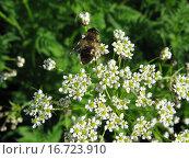 Пчела на цветах. Стоковое фото, фотограф Дмитрий Хлебников / Фотобанк Лори