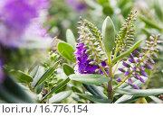 Фиолетовые цветы. Стоковое фото, фотограф Оксана Лозинская / Фотобанк Лори