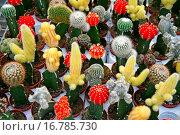 Купить «Grafted cactuses Garden Center Cambrils, Tarragona, Catalonia, Spain», фото № 16785730, снято 27 августа 2007 г. (c) easy Fotostock / Фотобанк Лори