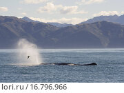 Купить «Sperm whale Physeter macrocephalus Kaikoura, South Island, New Zealand», фото № 16796966, снято 12 мая 2005 г. (c) easy Fotostock / Фотобанк Лори
