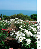 beautiful landscape _ white roses, sea and sky. Стоковое фото, фотограф ZOONAR GMBH LBRF / easy Fotostock / Фотобанк Лори
