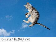 Купить «Flying brindle cat», фото № 16943770, снято 21 августа 2018 г. (c) easy Fotostock / Фотобанк Лори