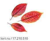 Купить «Красные осенние листья черноплодной рябины на белом фоне», фото № 17210510, снято 3 октября 2015 г. (c) Алёшина Оксана / Фотобанк Лори