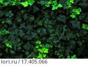 Купить «Bed of Ivy», фото № 17405066, снято 16 февраля 2019 г. (c) easy Fotostock / Фотобанк Лори