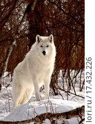 Купить «Arctic Wolf in winter», фото № 17432226, снято 20 февраля 2019 г. (c) easy Fotostock / Фотобанк Лори