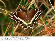 Palamedes Swallowtail Papilio palamedes. Стоковое фото, фотограф Jason Ross / easy Fotostock / Фотобанк Лори