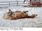 Купить «winter snow animals pets horse», фото № 17523142, снято 19 июня 2019 г. (c) PantherMedia / Фотобанк Лори