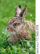 Купить «little hare», фото № 17560978, снято 19 октября 2018 г. (c) easy Fotostock / Фотобанк Лори